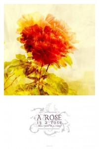 a-rose-is-a-rose-en